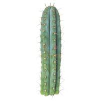 peruvian-torch-cactus-zaden-trichocereus-peruvianus-2-1